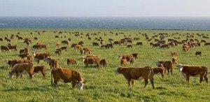 Open Range Cattle