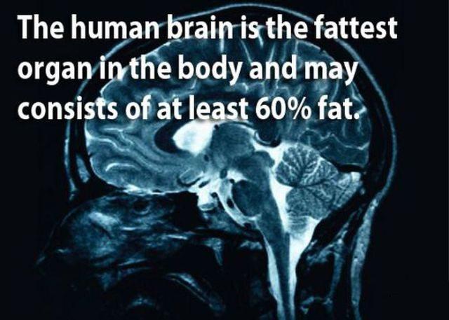 brain fat content