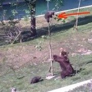 Moma Bear's Persistence Helps Save Her Cub From A Tree [VIDEO]