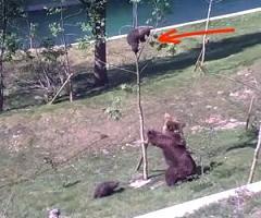 Bear Cub Stuck