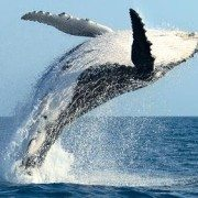 Feel Good Video Of The Week – Humpback Whale Freed From Fishing Line In The Sea Of Cortez